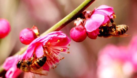 دراسة: تنوع النحل مهدد في شرق آسيا